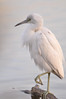 Description - Little Blue Heron - First Year, White Plumage <b>Title - Egret</b> <i>-Mary White</i>