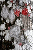 Description - Red Baton Rouge and White Lichens on Cypress Tree <b>Title - Lichen, Tree Patterns</b> <i>- Sid Rotter</i>