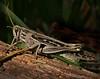 Description - Grasshopper <b>Title - Grasshopper</b> <i>- Nubia Richman</i>