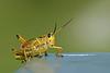 Description - Lubber Grasshopper <b>Title - Grasshopper</b> <i>- Raul Quinones</i>