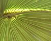 Description - Cabbage Palm Frond <b>Title - Frond</b> <i>- Michael Raiman</i>
