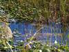 Description - Marsh Plants and Reflections in Water <b>Title - Reflective Transparency</b> <i>- Stan Schultz</i>