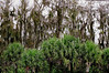 Description - Cypress Trees draped with Spanish Moss and Cabbage Palms <b>Title - Cypress and Cabbage</b> Rafael Crespo