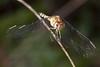 Description - Female Scarlet Skimmer Dragonfly <b>Title - Portrait of a Dragonfly</b> <i>- Robert Goldman</i>
