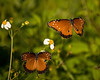 Description - Queen Butterflies on Spanish Needle - Male with Black Scent Gland on Hind Wing <b>Title - Two Queens</b> <i>- Melinda Moore</i>