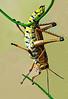 Description - Lubber Grasshopper <b>Title - Hopper Gymnasatics</b> 3rd Place <i>- Don Durfee</i>