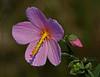 Description - Swamp Hibiscus <b>Title - Swamp Hibiscus</b> <i>- Tom Rasmussen</i>