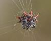 Description - Spiny-backed Orb Weaver Spider <b>Title - Along Came a Spider...</b> <i>- Robert Goldman</i>