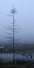 Description - Lonely Cypress Tree in Mist <b>Title - Lonely Tree</b> <i>- Kathleen Fosselman</i>