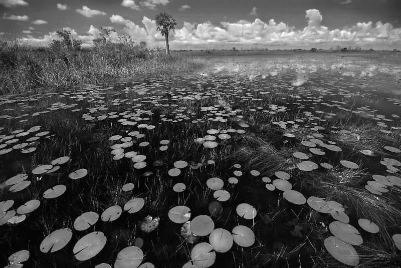Description - Canoe Trail -  White Lily Pads, Sawgrass and a Lone Cabbage Palm <b>Title - Loxahatchee Canoe Trail Lily Field</b> 1st Place <i>- Nhut Vo</i>