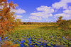 Description - Spatterdock Marsh Ringed by Cypress Trees and Sawgrass <b>Title - Serenity</b> <i>- Anwar Muqbel</i>