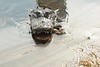 Description - Alligator Eating Prey <b>Title - Gotcha!</b> <i>- Joe Rayman</i>