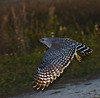 Description - Red-shouldered Hawk in Flight <b>Title - Hawk</b> <i>- Larry Crutcher</i>