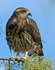 Description - Snail Kite Banding - Banded Kite on Cypress Branch <b>Title - Snail Kite Banding</b> <i>- Ed Mattis</i>