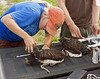 Description - Snail Kite Banding - Attaching Transmitter to Immature Hooded Kite <b>Title - Snail Kite Banding</b> <i>- Ed Mattis</i>