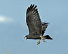 Description - Male Snail Kite in Flight with Apple Snail <b>Title - In-Air Transfer</b> <i>- Ed Mattis</i>