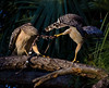 Description - Red-shouldered Hawks Tusseling over Earthworm <b>Title - Hawk</b> <i>- Larry Crutcher</i>