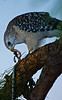 Description - Red-shouldered Hawk Eating Earthworm <b>Title - Hawk</b> <i>- Larry Crutcher</i>