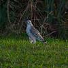 Description - Red-shouldered Hawk <b>Title - Hawk</b> <i>- Larry Crutcher</i>