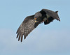 Description - Male Snail Kite in Flight Eating Apple Snail <b>Title - In-Air Transfer</b> <i>- Ed Mattis</i>