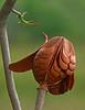 Description - Mahogany Seed Pod <b>Title - Mahogany Seed Pod</b> Honorable Mention <i>- Charlotte Rasmussen</i>