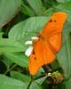 Description - Julia Butterfly on Spanish Needle <b>Title - Julia in Cypress Swamp</b> <i>- Phoenix Marks</i>