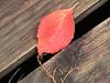 Description - Red Leaflet on Cypress Swamp Boardwalk <b>Title - Single Red Leaf,Visitor Center Boardwalk</b> <i>- Margaret Zuber</i>