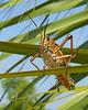 Description - Lubber Grasshopper <b>Title - Lubber</b> Honorable Mention <i>- Charlotte Rasmussen</i>