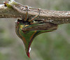 Description - Thorn Treehopper <b>Title - Thorny Bug 2</b> 1st Place <i>- Phoenix Marks</i>