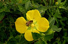 Description - Primrose Willow and Honey Bee <b>Title - Primrose Willow and Bee</b> <i>- Meg Puente</i>