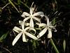 Description - String Lilies <b>Title - Swamp Lilies</b> <i>- Margaret Zuber</i>