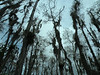 Description - Cypress Trees with Spanish Moss <b>Title - Loxahatchee Looking Up</b> <i>- Meg Puente</i>