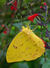 Description - Giant Yellow Sulfur Butterfly on Red Salvia <b>Title - Yellow Sulfur in Cypress Swamp</b> <i>- Phoenix Marks</i>