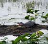 Description - Alligator on Mud Flat <b>Title - Letting Off Steam</b> <i>- Phoenix Marks</i>