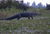 Description - Alligator <b>Title - Out For a Walk</b> <i>- Larry Crutcher</i>