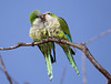 Description - Monk Parakeets Kissing - Non-natives now established in eastern U.S. <b>Title - Monk Parakeets Kiss</b> Honorable Mention <i>- Ruth Pannunzio</i>
