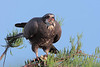 Description - Snail Kite with Apple Snail in Beak <b>Title - Snail Kite Breakfast</b> 3rd Place <i>- Raul Quinones</i>
