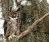 Description - Great Horned Owl <b>Title - I Can See You</b> <i>- Arnold Dubin</i>