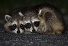 Description - Raccoons (Eye Shine from Tapetum Lucidum in Eye) <b>Title - Cute and Cuddly</b> Honorable Mention <i>- Larry Crutcher</i>