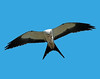 Description - Swallow-tailed Kite in Flight with Lizard <b>Title - In Flight Meal</b> <i>- Ed Mattis</i>