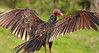 Description - Turkey Vulture <b>Title - Red Head</b> <i>- Bob Grauer</i>