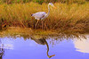 Description - Great Blue Heron <b>Title - Symmetry</b> <i>- Anwar Muqbel</i>