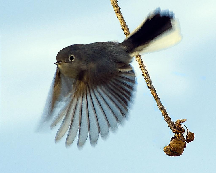 Description - Blue-gray Gnatcatcher <b>Title - The Takeoff</b> Best in Show <i>- Don Durfee</i>