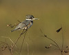 Description - Belted Kingfisher <b>Title - Belted Kingfisher</b> <i>- Don Mullaney</i>