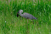 Description - Great Blue Heron with Fish <b>Title - Great Blue Heron with Fish</b> <i>- Janet Robinson</i>