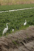 Description - Great Egrets and Snowy Egret  <b>Title - Egrets Great and Small</b> <i>- Joe Rayman</i>