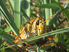 Description - Lubber Grasshopper <b>Title - Grasshopper</b> 1st Place <i>- Alex Edoff</i>