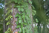 Description - Virginia Creeper on Tree Trunk <b>Title - Warped Tree Trunk</b> <i>- Alex Edoff</i>