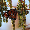Description - Viceroy Butterfly On Male Cypress Cones <b>Title - At Peace</b> <i>- Esta Love</i>