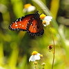 Description - Queen Butterfly on Spanish Needle <b>Title - Tranquil</b> <i>- Esta Love</i>